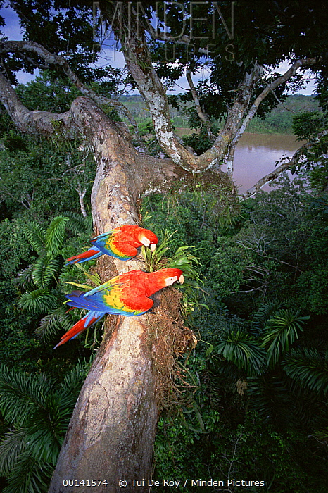 Scarlet Macaw (Ara macao) pair perched on tree limb, originally hand raised by the research center, they are now living in the rainforest canopy, Tambopata-Candamo Reserve, Amazon Basin, Peru  -  Tui De Roy