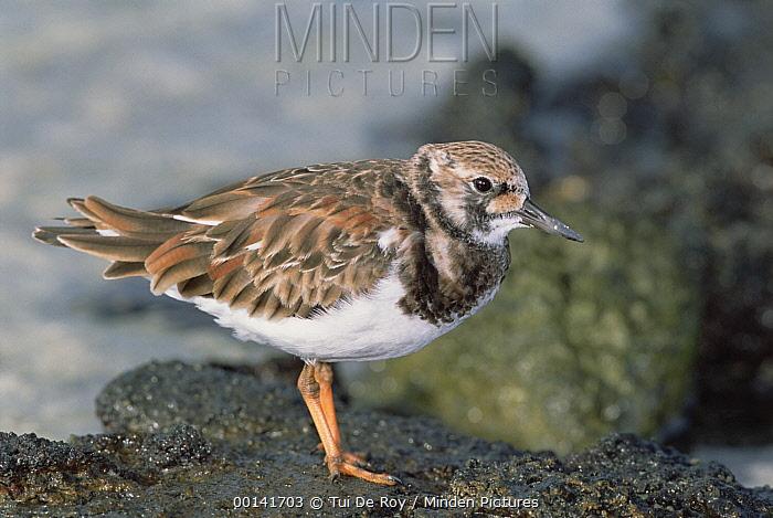 Ruddy Turnstone (Arenaria interpres) migrant in winter plumage, feeding in tidal zone on overwintering grounds, Genovesa Tower Island, Galapagos Islands, Ecuador  -  Tui De Roy