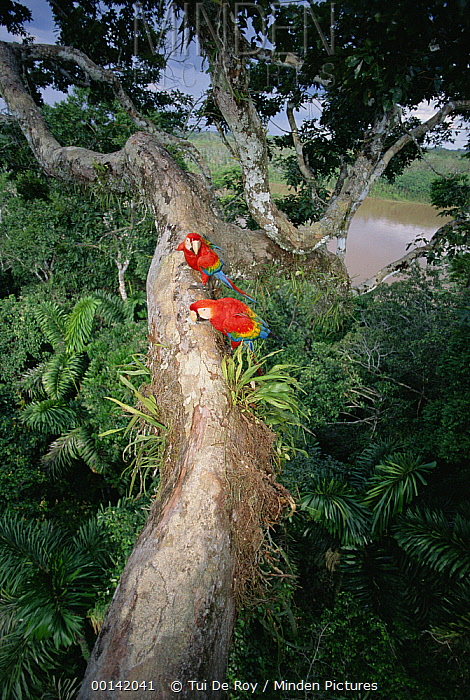 Scarlet Macaw (Ara macao) pair making a living in rainforest canopy, originally hand-raised by research center, Tambopata-Candamo Reserved Zone, Amazon Basin, Peru  -  Tui De Roy