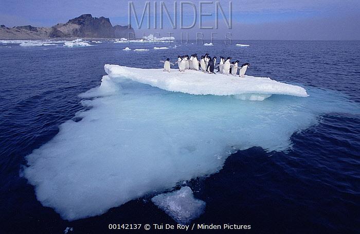 Adelie Penguin (Pygoscelis adeliae) group crowding on melting summer ice floe, Possession Island, Ross Sea, Antarctica  -  Tui De Roy