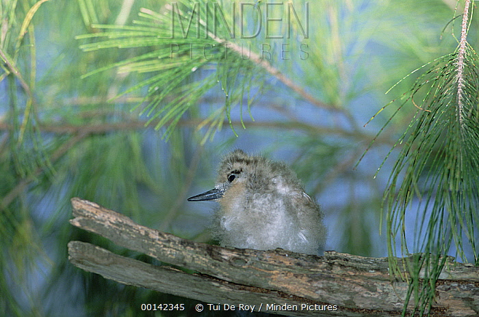 White Tern (Gygis alba) chick clinging to bare branch nest, Midway Atoll, Hawaii  -  Tui De Roy