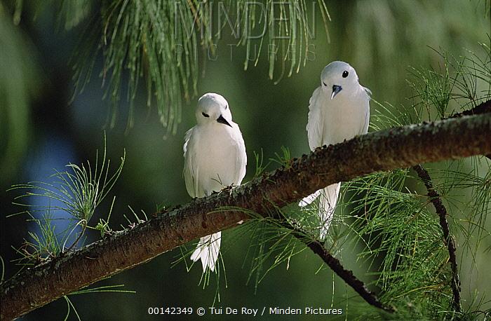 White Tern (Gygis alba) pair establishing egg-laying site on bare branch of Casuarina tree, Midway Atoll, Hawaii  -  Tui De Roy