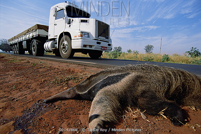Giant Anteater (Myrmecophaga tridactyla) road-kill victim due to traffic in expanding agricultural development in dry Cerrado grassland habitat, Brazil  -  Tui De Roy