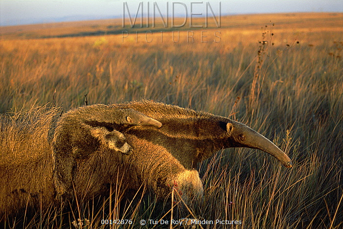Giant Anteater (Myrmecophaga tridactyla) mother carrying young on her back, feeding at sunset in dry Cerrado grassland habitat, Brazil  -  Tui De Roy