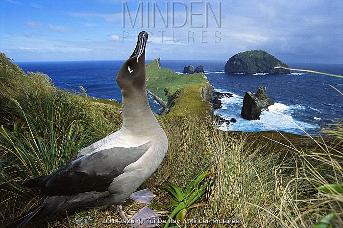 Light-mantled Albatross (Phoebetria palpebrata) emitting sky-pointing courtship call, Monument Harbor, Campbell Island, New Zealand  -  Tui De Roy