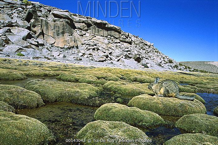 Southern Viscacha (Lagidium viscacia) feeding in high elevation Andean wetland adjacent to colony in boulder field, Lauca National Park, Chile  -  Tui De Roy