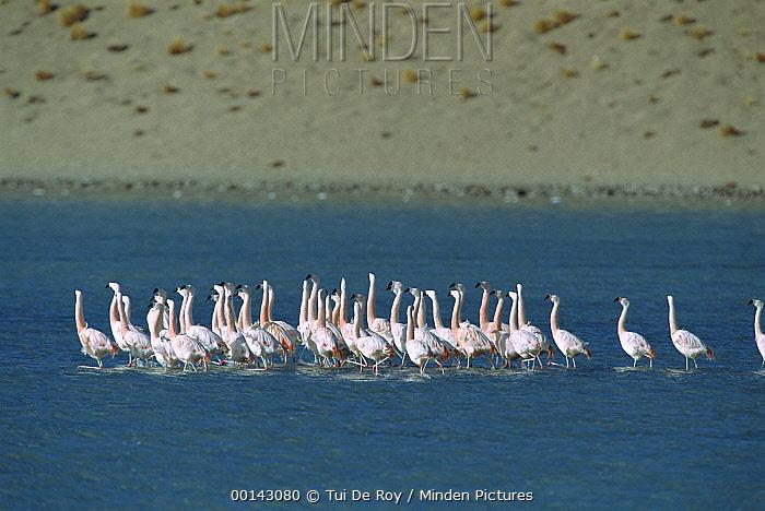 Chilean Flamingo (Phoenicopterus chilensis) flock performing synchronized courtship dance in freshwater arm of Salar de Chalviri, Andean altiplano above 4000 meters elevation, Salar de Chalviri, Bolivia  -  Tui De Roy