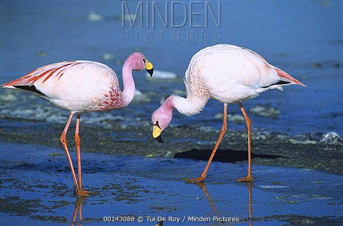 Puna Flamingo (Phoenicopterus jamesi) rare, pair feeding in Laguna Colorada, highly adapted to feed on microscopic diatoms, Andean altiplano above 4000 meters elevation, Bolivia  -  Tui De Roy