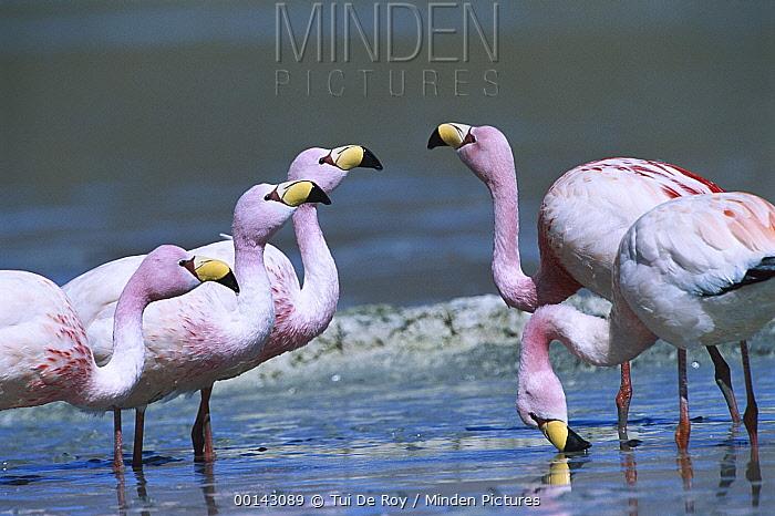 Puna Flamingo (Phoenicopterus jamesi) rare, flock feeding, highly adapted to feed on microscopic diatoms, Laguna Colorada, Andean altiplano above 4,000 meters elevation, Bolivia  -  Tui De Roy