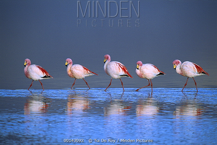 Puna Flamingo (Phoenicopterus jamesi) rare, flock walking in a line in saline lake tinted red by diatoms that the flamingos feed on, Laguna Colorada, Andean altiplano above 4,000 meters elevation, Bolivia  -  Tui De Roy
