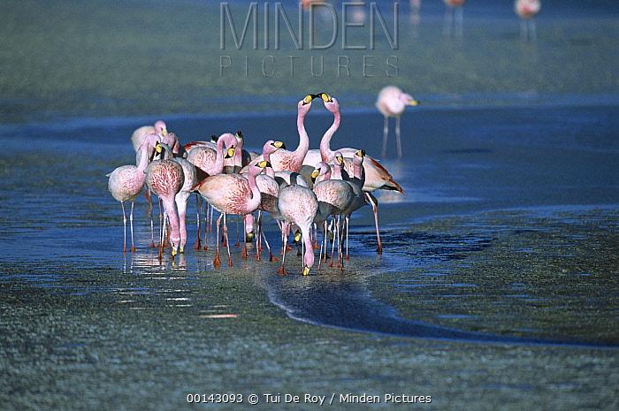 Puna Flamingo (Phoenicopterus jamesi) rare, flock drinking from freshwater springs along lake edge, Laguna Colorada, Andean altiplano above 4,000 meters elevation, Bolivia  -  Tui De Roy