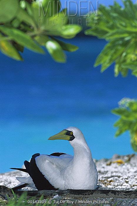 Masked Booby (Sula dactylatra) incubating egg on ground nest, Paradise Peninsula, Palmyra Atoll, US Line Islands, tropical Pacific  -  Tui De Roy