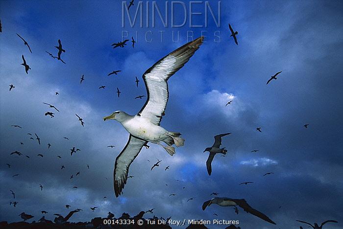 Salvin's Albatross (Thalassarche salvini) returning en masse to crowded nesting colony at sunset, Proclamation Island, Bounty Islands, New Zealand  -  Tui De Roy