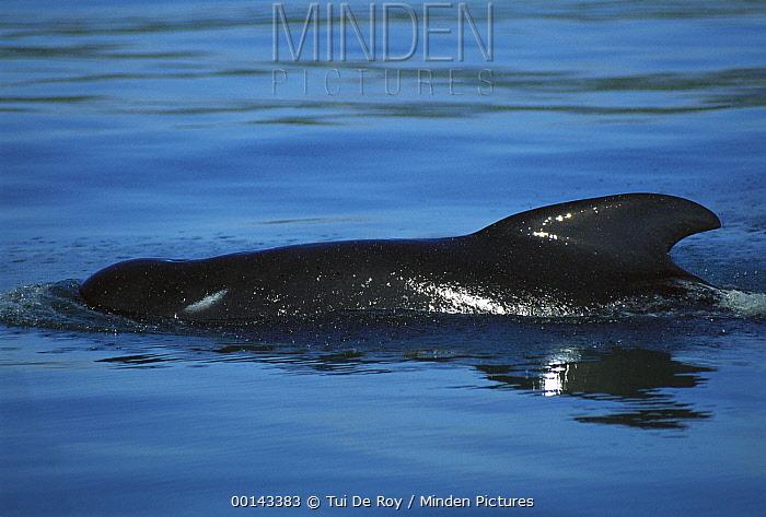 Long-finned Pilot Whale (Globicephala melas) in coastal waters, Golden Bay, South Island, New Zealand  -  Tui De Roy