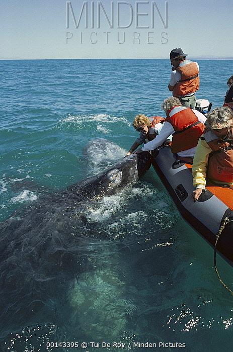 Gray Whale (Eschrichtius robustus) friendly cow and calf making contact with whale watching boat, San Ignacio, Baja California, Mexico  -  Tui De Roy