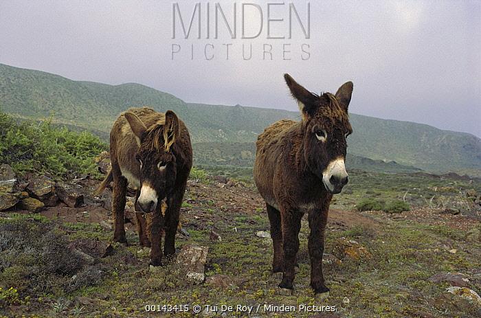 Feral Donkey (Equus asinus) pair on overgrazed pasture, San Benito Island, Baja California, Mexico  -  Tui De Roy