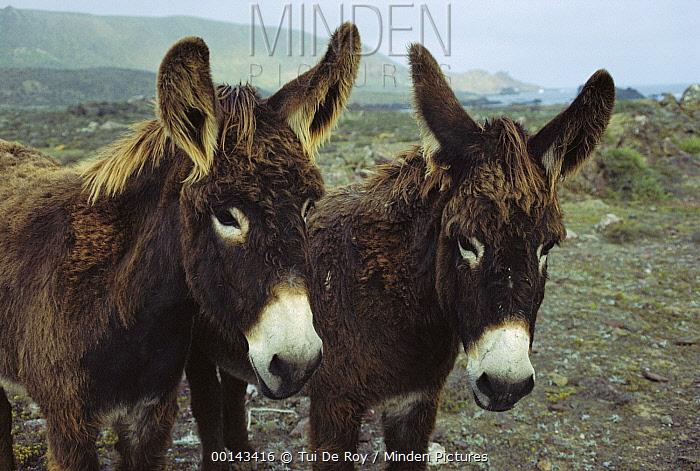 Feral Donkey (Equus asinus) pair in overgrazed pasture, San Benito Island, Baja California, Mexico  -  Tui De Roy