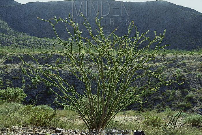 Ocotillo (Fouquieria splendens) with a flush of green leaves after rain, Puerto Splendens, Baja California Peninsula, Mexico  -  Tui De Roy