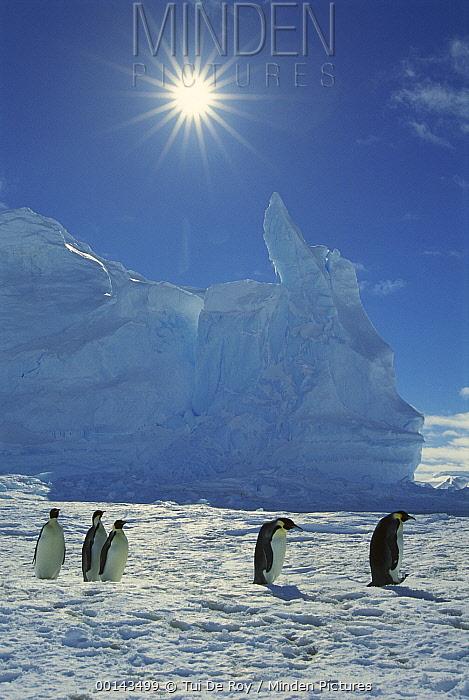 Emperor Penguin (Aptenodytes forsteri) commuters returning to rookery, Riiser-Larsen Rookery, Weddell Sea, Antarctica  -  Tui De Roy