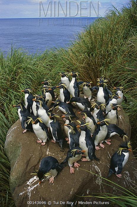 Rockhopper Penguin (Eudyptes chrysocome) group on rock, Nightingale Island, South Atlantic  -  Tui De Roy