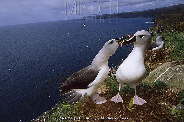 Grey-headed Albatross (Thalassarche chrysostoma) pair investigating possible nest site, North Cape, Campbell Island, sub-Antarctica New Zealand  -  Tui De Roy