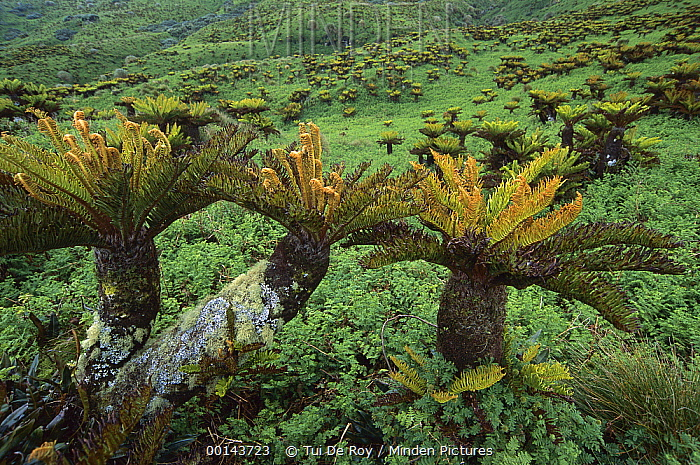 Gough Tree Fern (Blechnum palmiforme) clusters growing in waterlogged coastal plateau, Gough Island, South Atlantic  -  Tui De Roy