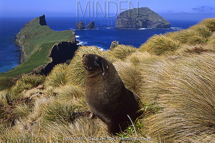 Hooker's Sea Lion (Phocarctos hookeri), young bull searching for females hiding in tussock grass, Enderby Island, Auckland Islands, sub-Antarctic New Zealand  -  Tui De Roy