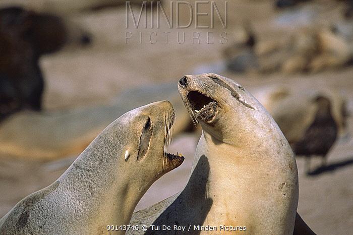 Hooker's Sea Lion (Phocarctos hookeri) females fighting over space in breeding colony, Enderby Island, Auckland Islands, sub-Antarctica New Zealand  -  Tui De Roy