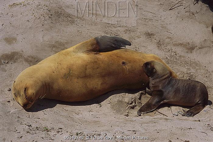 Hooker's Sea Lion (Phocarctos hookeri) sleeping mother with nursing pup, Enderby Island, Auckland Islands, sub-Antarctic New Zealand  -  Tui De Roy