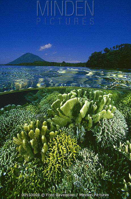 Garden of Hard Corals just beneath the water's surface at Bunaken Island, Manado Tua Marine National Park, Manado, North Sulawesi, Indonesia  -  Fred Bavendam