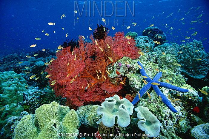 Basslet (Pseudanthias sp) school, swimming near a Sea Fan (Melithaea sp) and a Blue Sea Star (Linckia laevigata)  -  Fred Bavendam