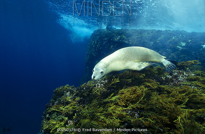Australian Sea Lion (Neophoca cinerea) swimming underwater, Greenly Island, South Australia  -  Fred Bavendam