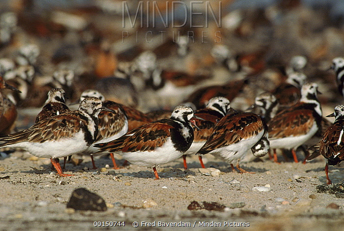 Ruddy Turnstone (Arenaria interpres) flock stopping at Delaware Bay to feed on Horseshoe Crab eggs while flying from South America to arctic nesting grounds, Cape May, New Jersey  -  Fred Bavendam