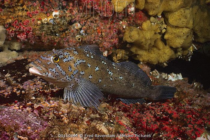 Kelp Greenling (Hexagrammos decagrammus), Quadra Island, British Columbia, Canada  -  Fred Bavendam