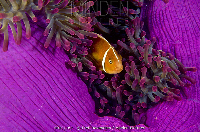 Pink Anemonefish (Amphiprion perideraion) nestled among the tentacles of its Sea Anemone host, Great Barrier Reef, Queensland, Australia  -  Fred Bavendam