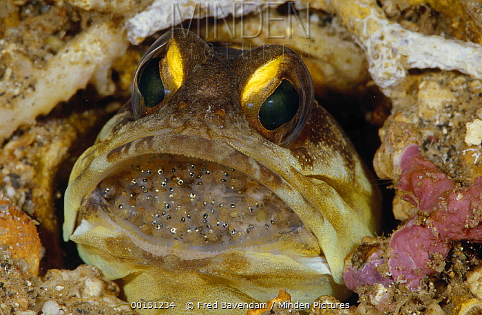 Spotfin Jawfish (Opistognathus sp) male protectively incubating a clutch of eggs in his mouth, Manado, North Sulawesi, Indonesia  -  Fred Bavendam