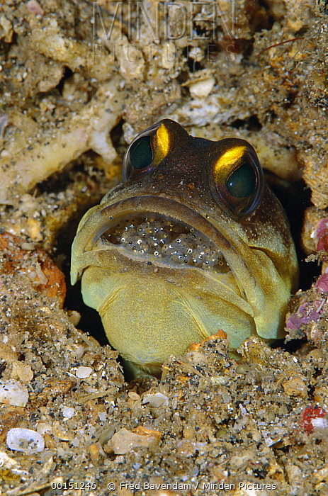 Spotfin Jawfish (Opistognathus sp) male protectively incubating a clutch of eggs in his mouth, Manado, Sulawesi, Indonesia  -  Fred Bavendam