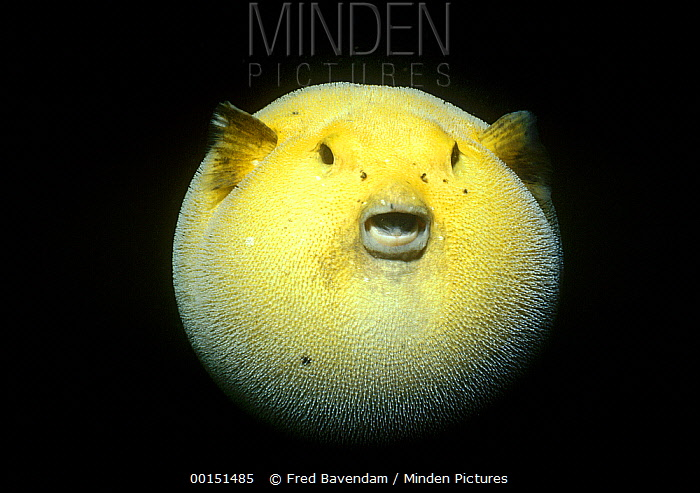 Minden pictures stock photos guineafowl pufferfish for Puffer fish puffing