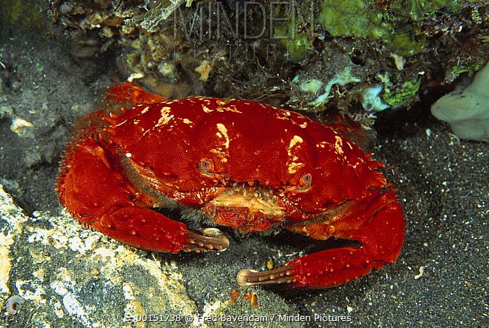 Splendid Pebble Crab (Etisus splendidus) photographed at night, Bali, Indonesia  -  Fred Bavendam