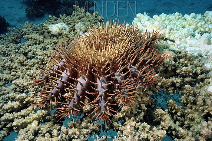 Crown-of-thorns Starfish (Acanthaster planci), Red Sea, Hurghada, Egypt  -  Fred Bavendam