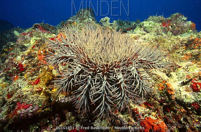 Crown-of-thorns Starfish (Acanthaster planci), Great Barrier Reef, Queensland, Australia  -  Fred Bavendam