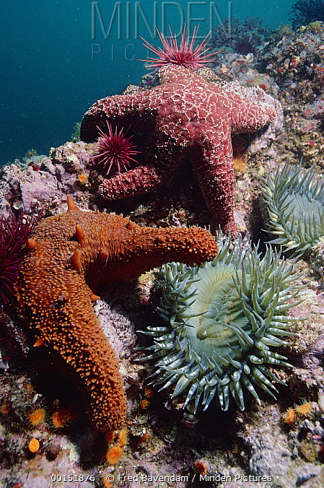 Warty Sea Cucumber (Parastichopus parvimensis) Ochre Sea Star (Pisaster ochraceus) Aggregating Anemone (Anthopleura elegantissima), Channel Islands National Marine Sanctuary, California  -  Fred Bavendam