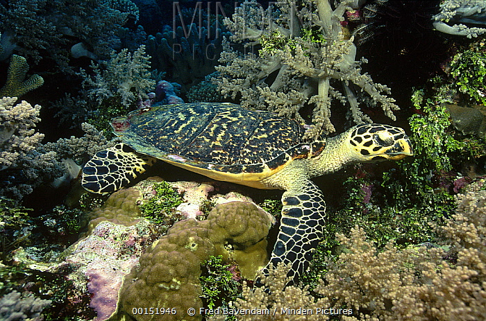 Hawksbill Sea Turtle (Eretmochelys imbricata) camouflaged against rocks, Coral Sea, Queensland, Australia, critically endangered  -  Fred Bavendam