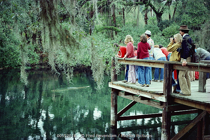 West Indian Manatee (Trichechus manatus) in the spring run watched by park visitors, Blue Spring State Park, Florida  -  Fred Bavendam