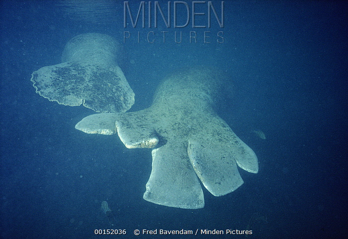 West Indian Manatee (Trichechus manatus) named Sadie has propeller cuts on the tail, but her calf remains intact, every year boats kill dozens of manatees, Kings Bay, Crystal River, Florida  -  Fred Bavendam