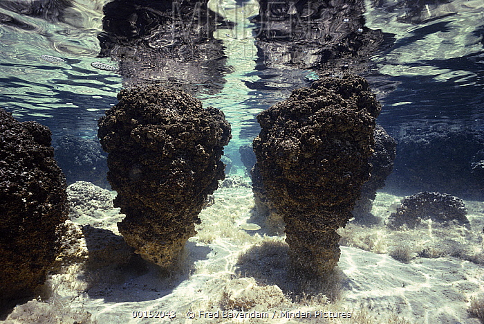 Stromatolites, colonies of blue-green algae, the oldest life form that still exists today fossils dated to over three billion years ago, Hamelin pool, Western Australia  -  Fred Bavendam
