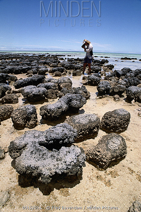 Tourist photographing stromatolites, colonies of blue-green algae, the oldest life form that still exists today fossils dated to over three billion years ago, Hamelin Pool, Western Australia  -  Fred Bavendam