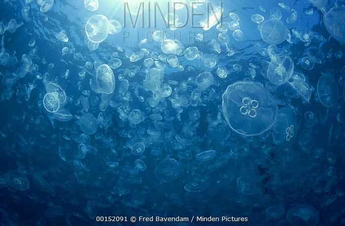 Moon Jelly (Aurelia aurita) mass in the plankton-rich waters of Ningaloo Reef, Exmouth, Western Australia, Australia  -  Fred Bavendam