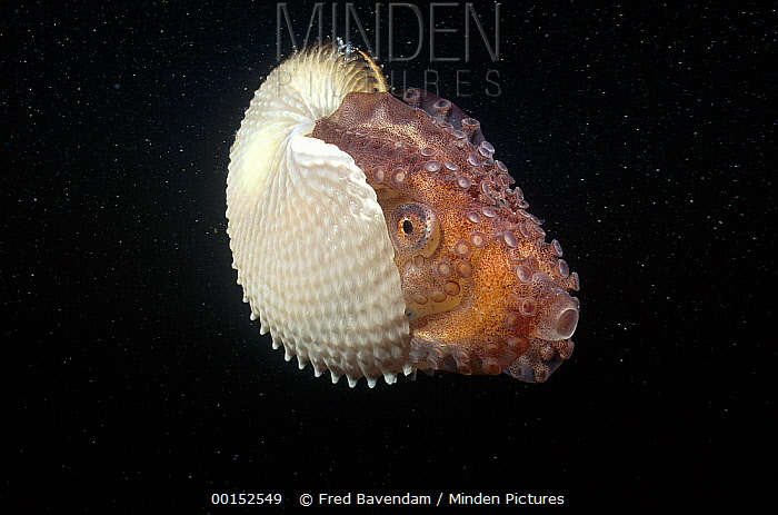 Paper Nautilus (Argonauta nodosa) is actually a pelagic Octopus, females make the parchment-like shell to carry incubating eggs, South Australia  -  Fred Bavendam