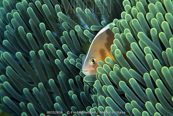 Skunk Anemonefish (Amphiprion akallopisos) living with a Magnificent Sea Anemone (Heteractis magnifica), Bali, Indonesia  -  Fred Bavendam